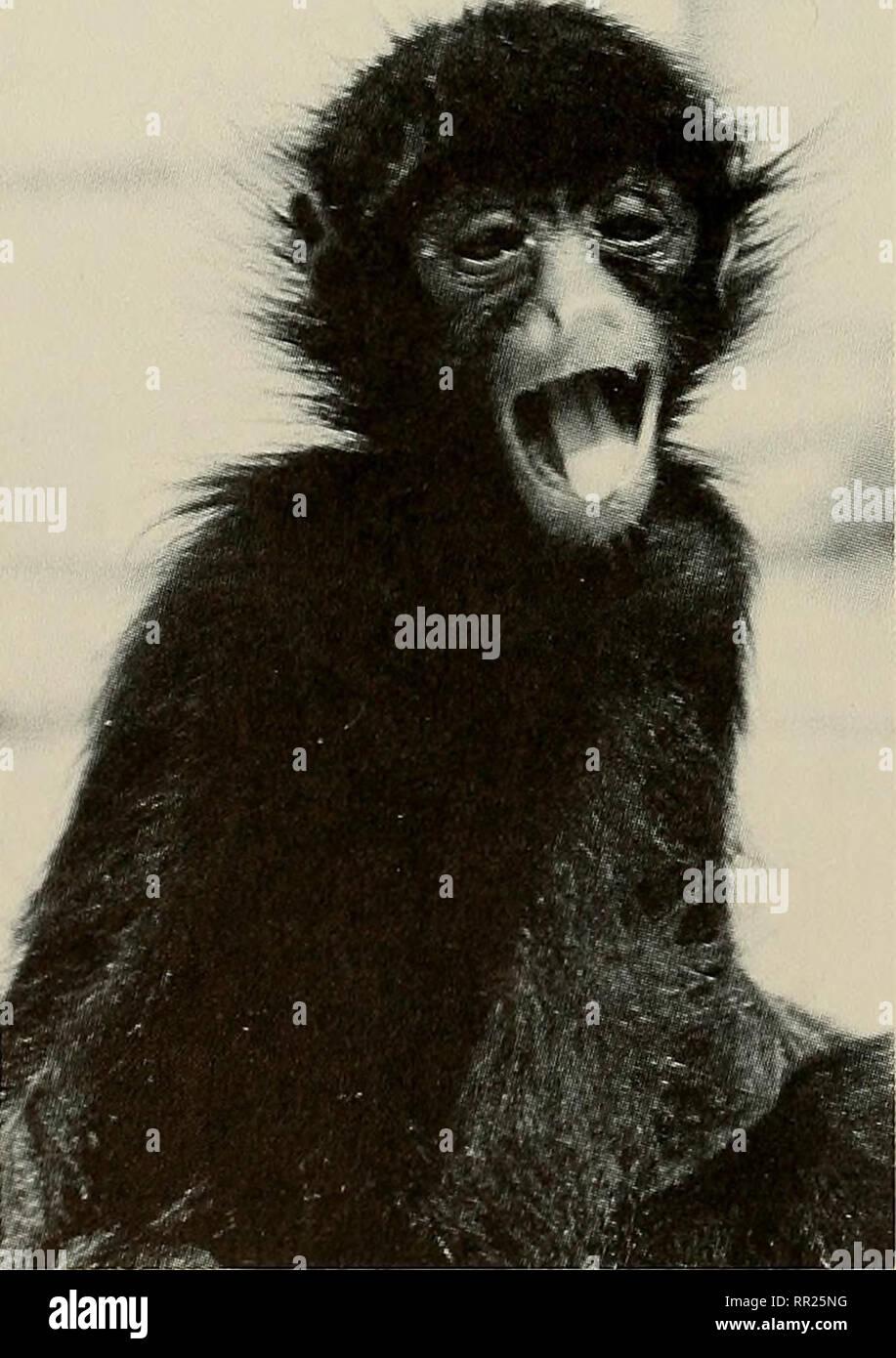 . Avances en herpetología y biología evolutiva : Ensayos en honor de Ernest E. Williams. Williams, Ernest E. (Ernest Edward); Herpetology; evolución. Figura 3. a. Menores mono capuchino tufted {Cebus apella apella). b. Joven adulto macho mono capuchino llorona {Cebus nigrivittatus). c. Hembra adulta (arriba) y subadulto (abajo) mono aullador (Alouatta senicu- lus). d. Los menores mono araña negro {Ateles paniscus paniscus). Por favor tenga en cuenta que estas imágenes son extraídas de la página escaneada imágenes que podrían haber sido mejoradas digitalmente para mejorar la legibilidad, la coloración y el aspecto de estas ilus Foto de stock