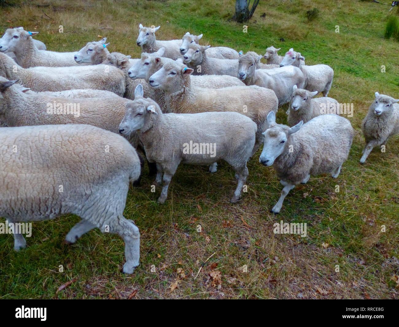 Pastor ovejero y pastoreando ovejas. Fotografiado cerca de Christchurch, Nueva Zelanda Foto de stock