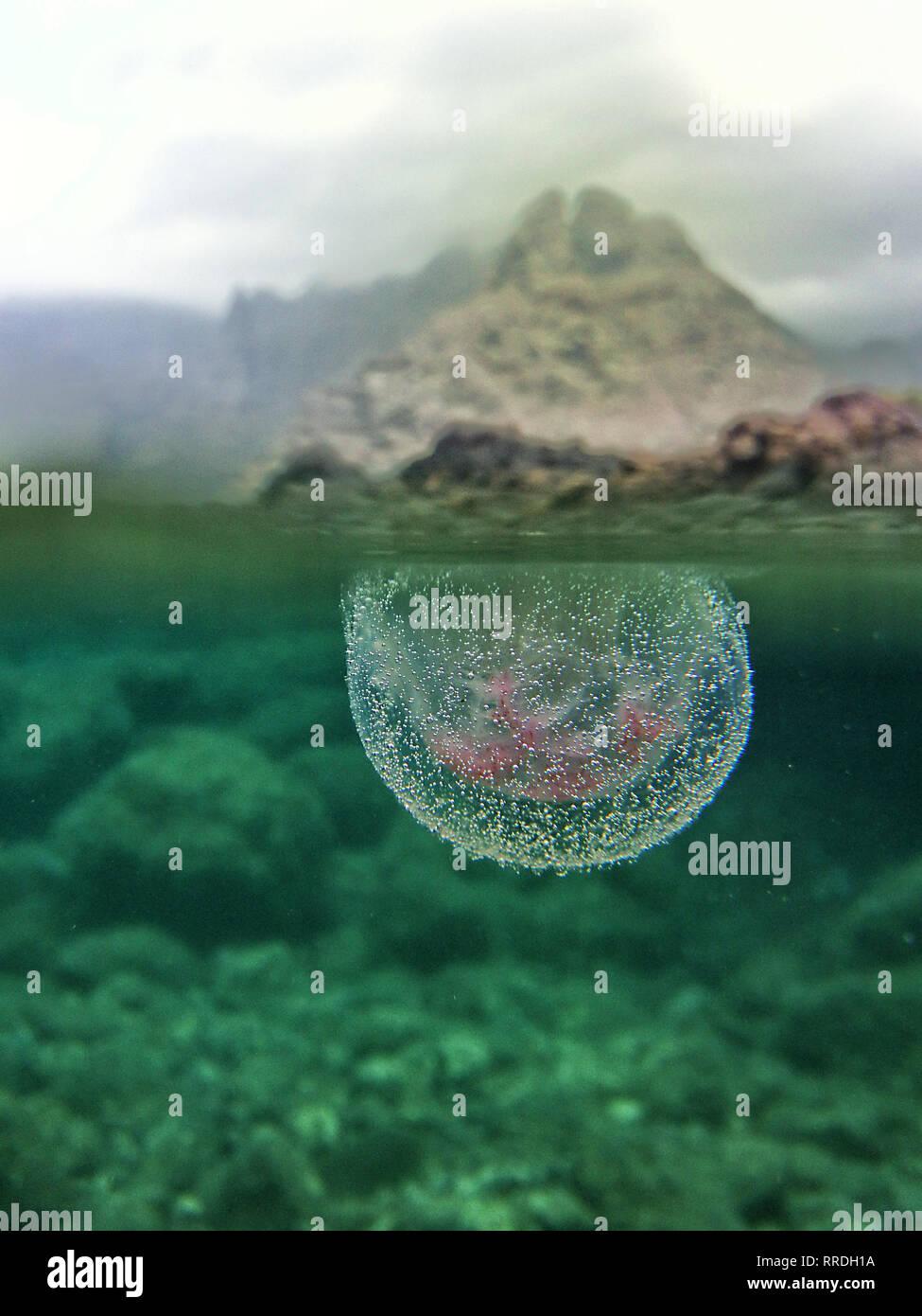 Acercamiento de las medusas transparentes en burbujas fluyen bajo la superficie del agua transparente en la naturaleza salvaje Foto de stock
