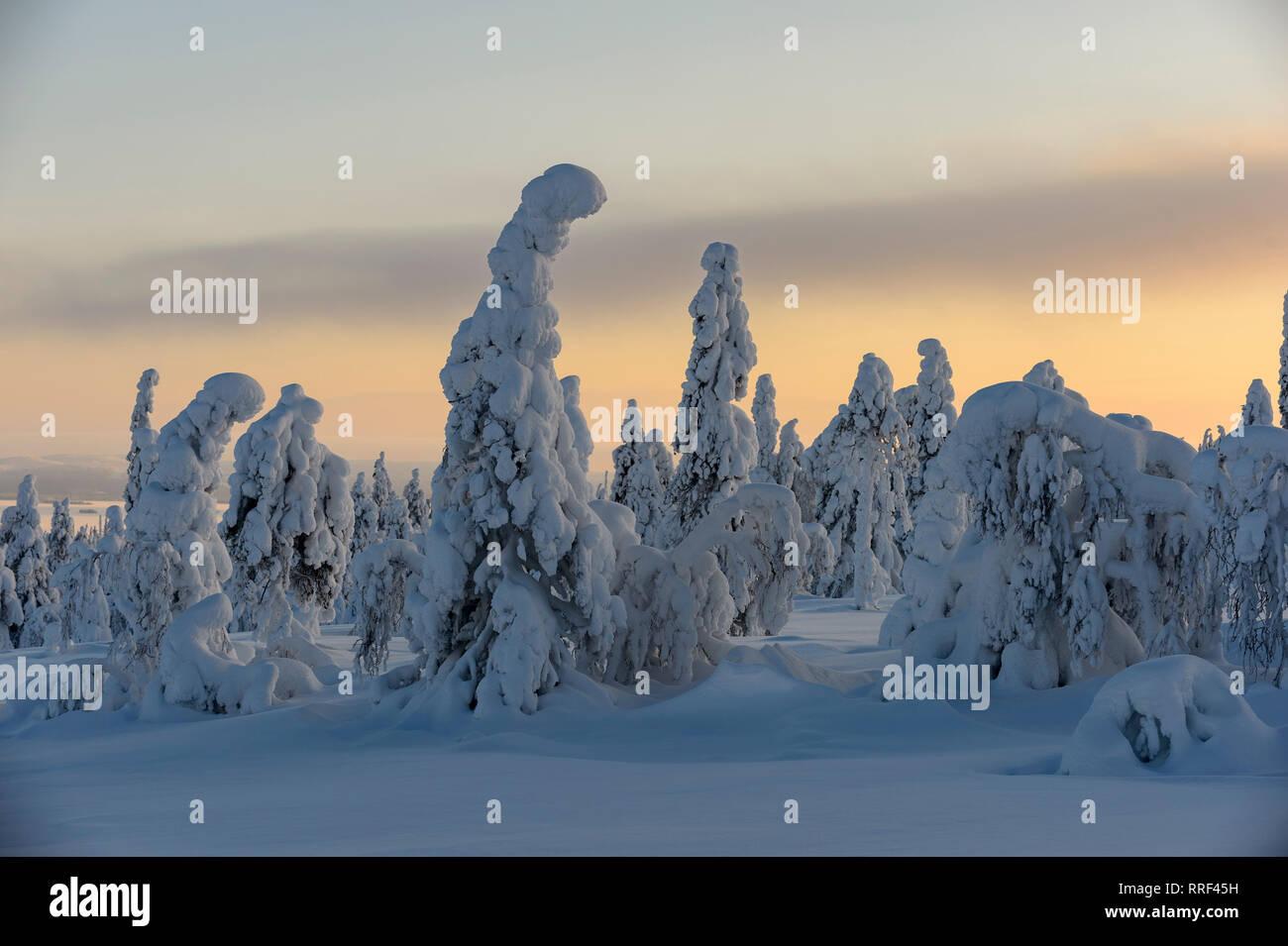 Abetos cubiertos de fuertes heladas y nieve en el Parque Nacional de Riisitunturi, Kuusamo, Finlandia Foto de stock