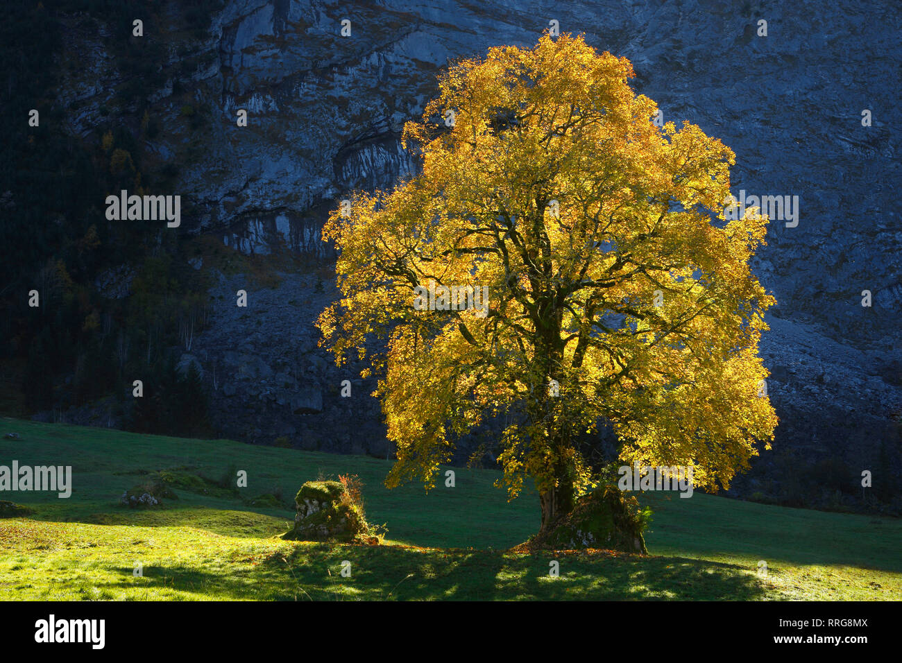 La botánica, Celta maple, Acer pseudoplatanus, Suiza, Additional-Rights-Clearance-Info-Not-Available Foto de stock