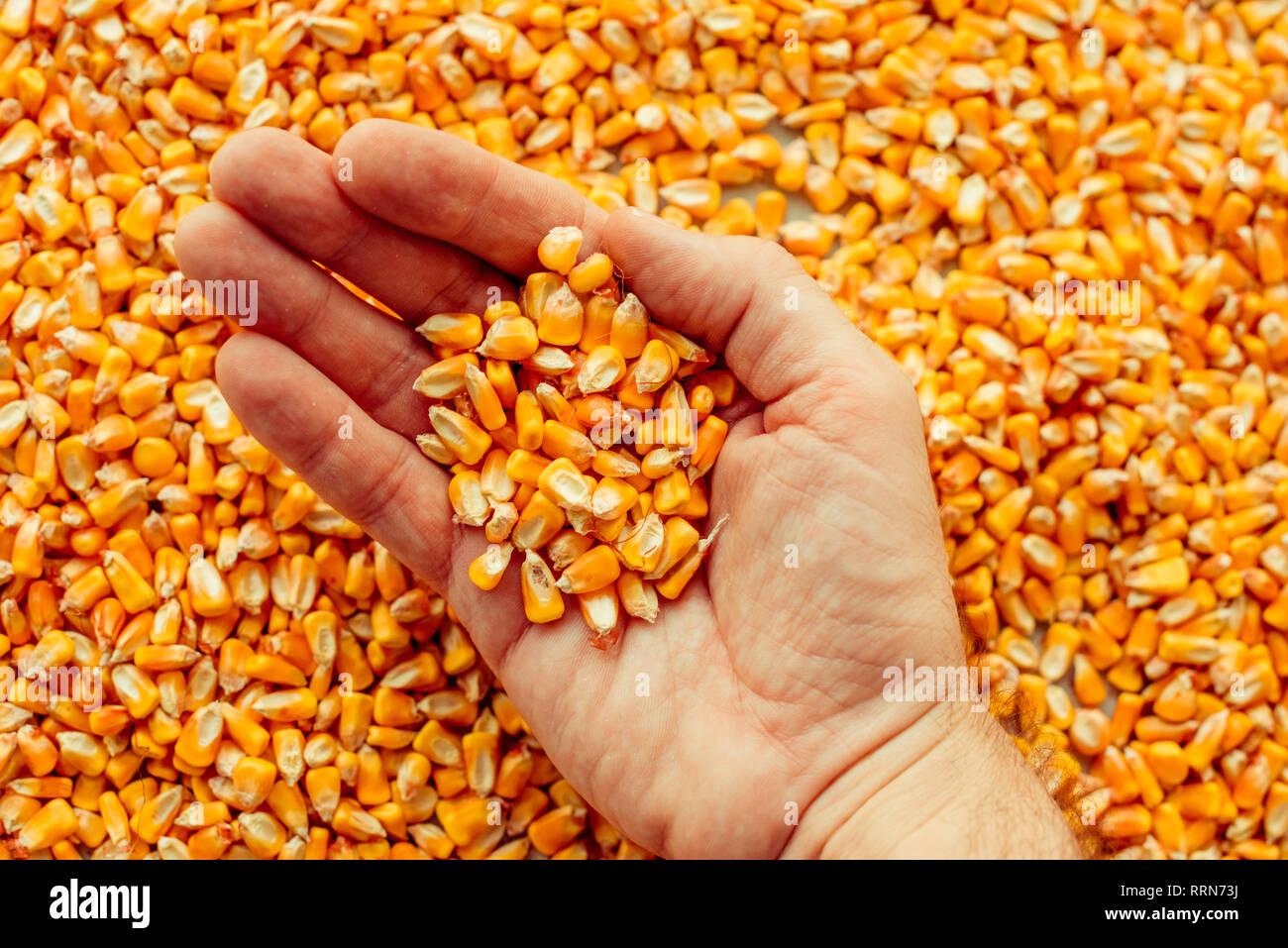 Agricultor puñado de granos de maíz cosechado, el concepto de la abundancia y alto rendimiento después de exitosa cosecha Imagen De Stock