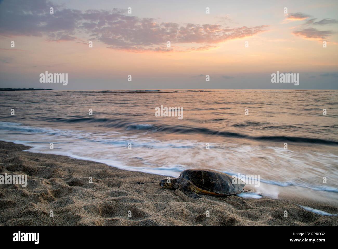 Pacífico Sur, Estados Unidos, Hawaii, Hawaii, Isla, Isla Grande, en Kona, Kaloko-Honokohau, tortuga de mar verde en la playa Foto de stock