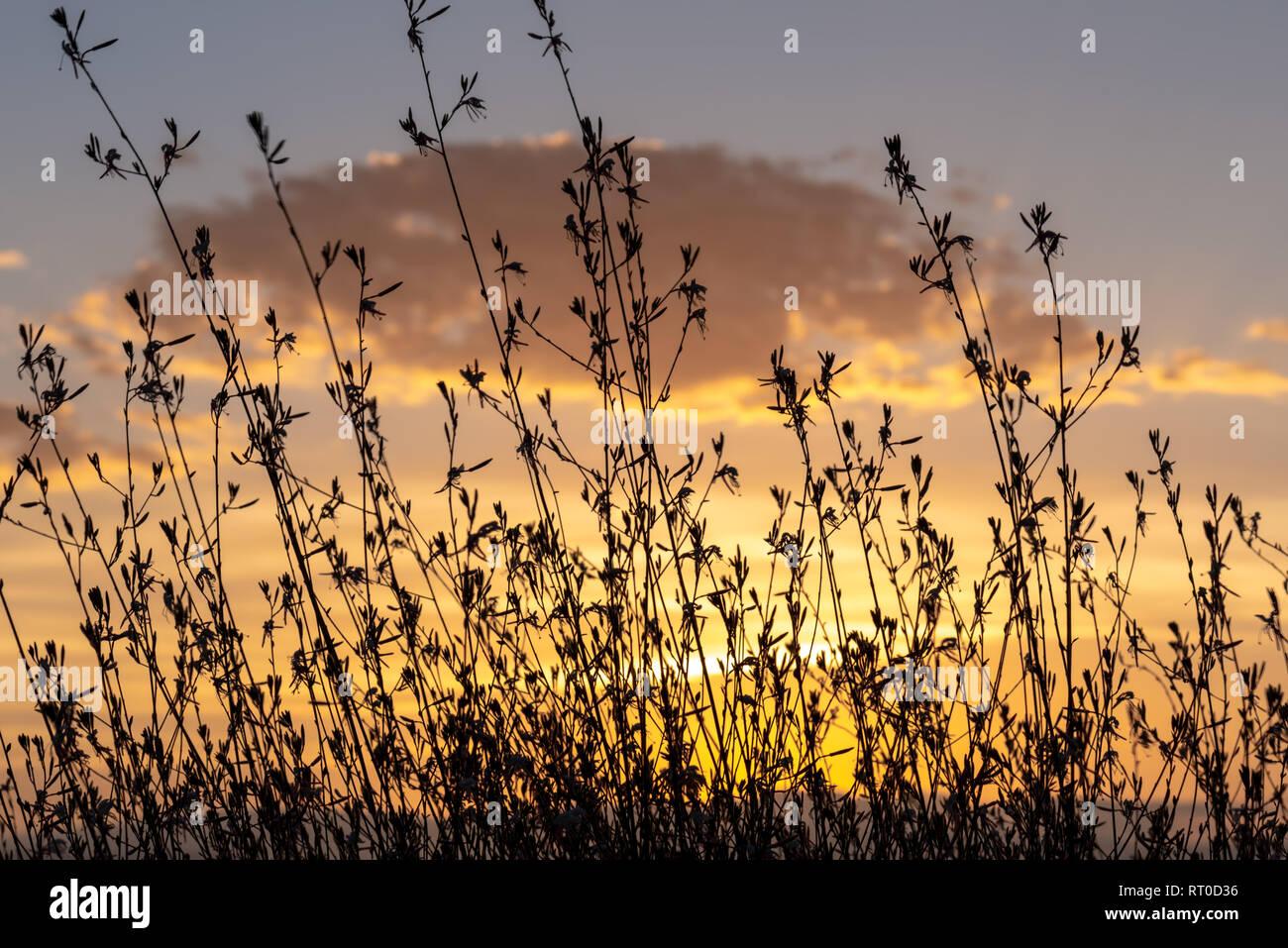 Un Gaura Belleza bush siluetas contra una dorada puesta de sol. Imagen De Stock