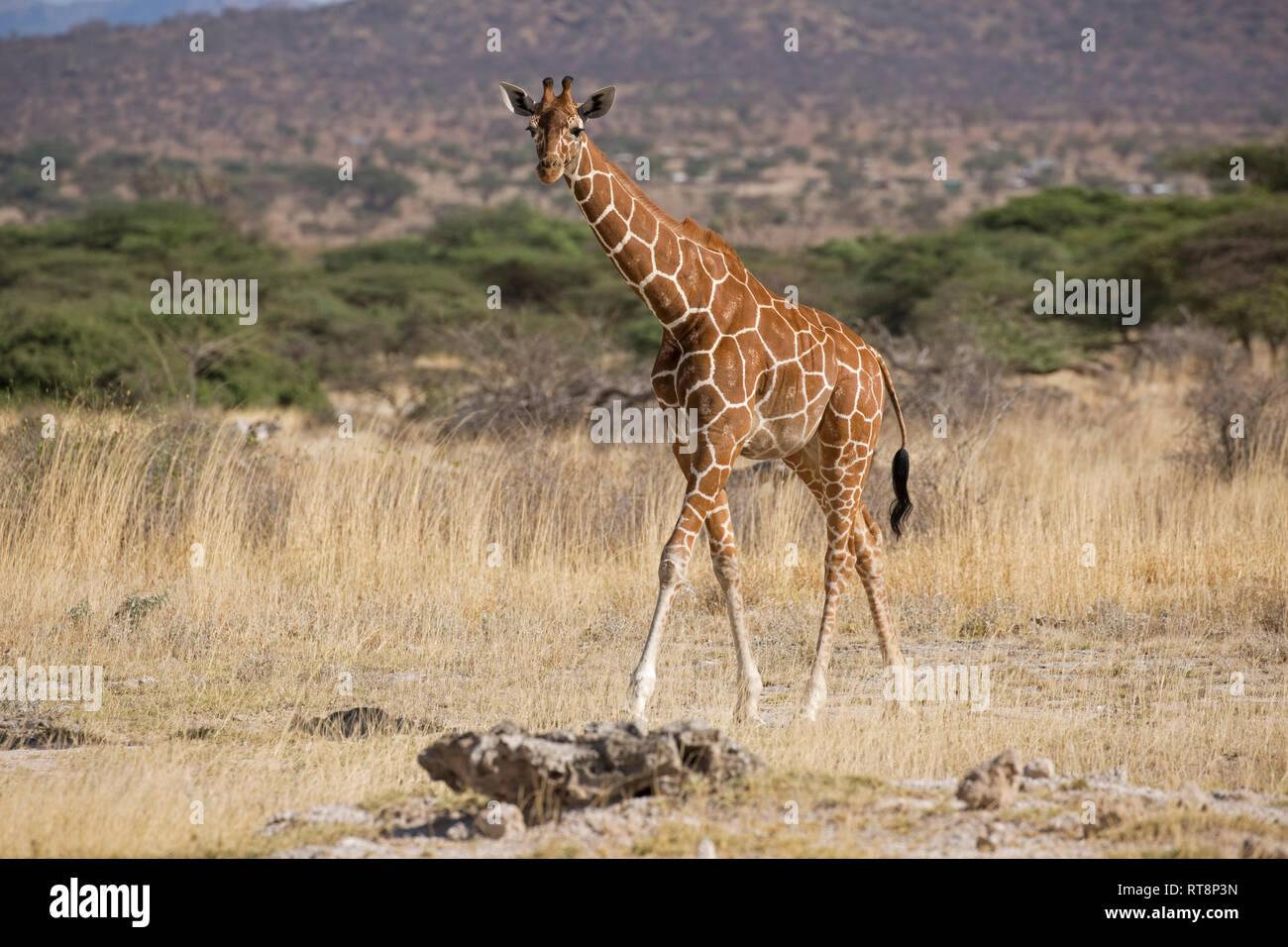 O reticulada jirafa somalí, Giraffa camelopardalis reticulata, en praderas semi-áridas, Buffalo Springs reserva nacional, Kenya Foto de stock