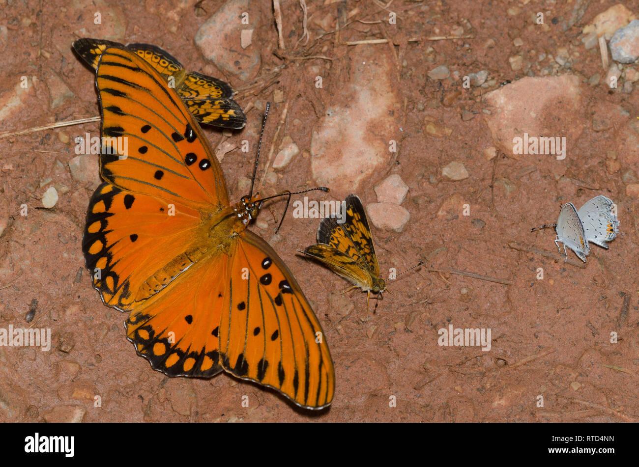 Los charcos de barro mariposas; Golfo, Speyeria Agraulis vanillae, Pearl crecientes, tharos Phyciodes, y Oriental-tailed blues, Cupido comyntas Foto de stock