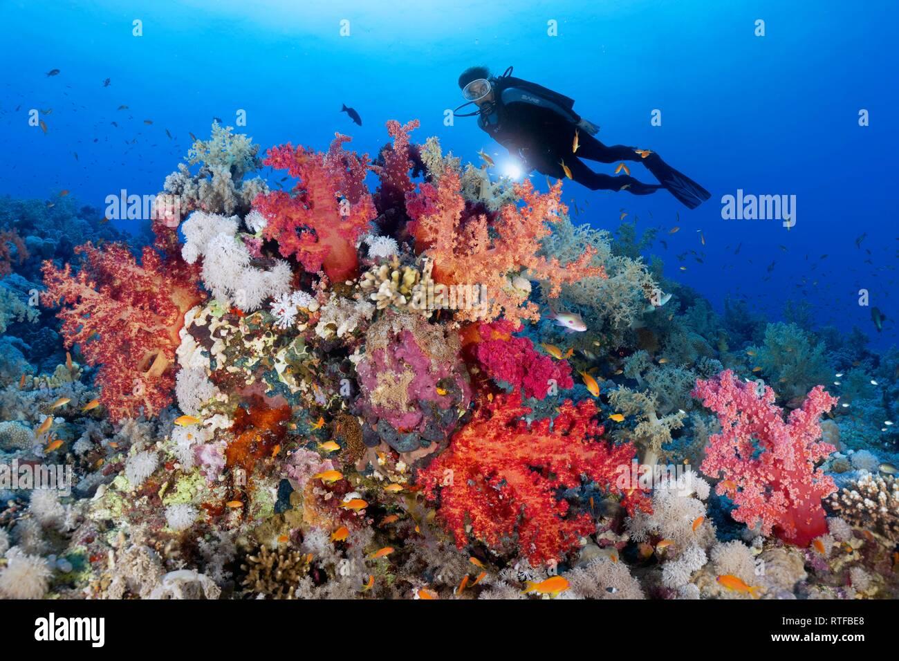 Buzo con lámpara mirando a los arrecifes de coral, densamente cubierto con diferentes corales blandos (Alcyonacea), piedra de corales (Hexacorallia) Imagen De Stock