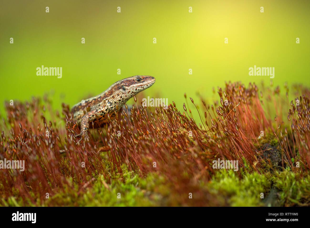 El lagarto común o ovíparos Zootoca vivipara en República Checa Foto de stock