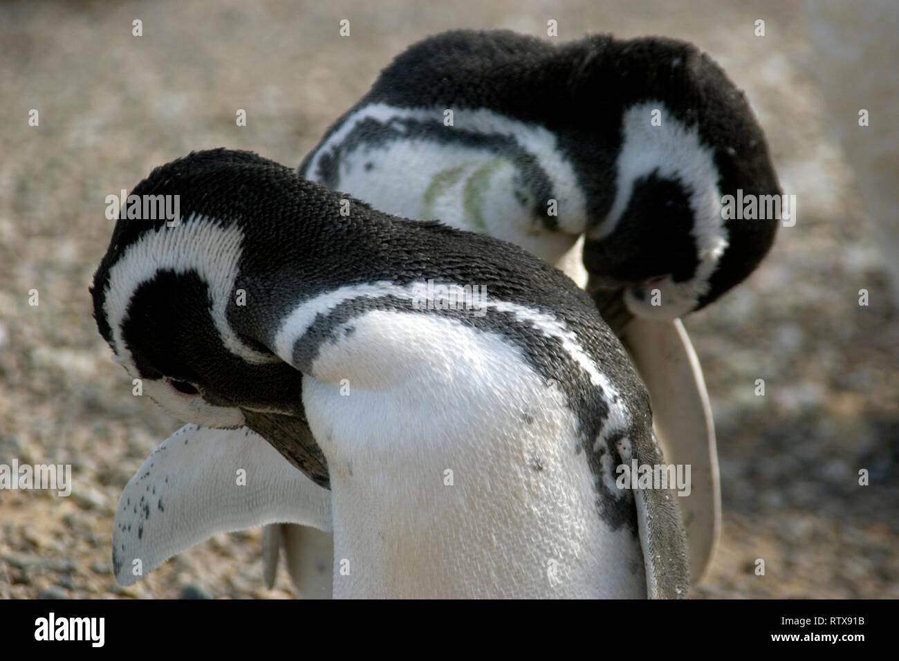 Pingüinos de Magallanes, Spheniscus magellanicus, Pinguinera Punta Tombo, Rawson, Chubut, Patagonia Argentina Foto de stock