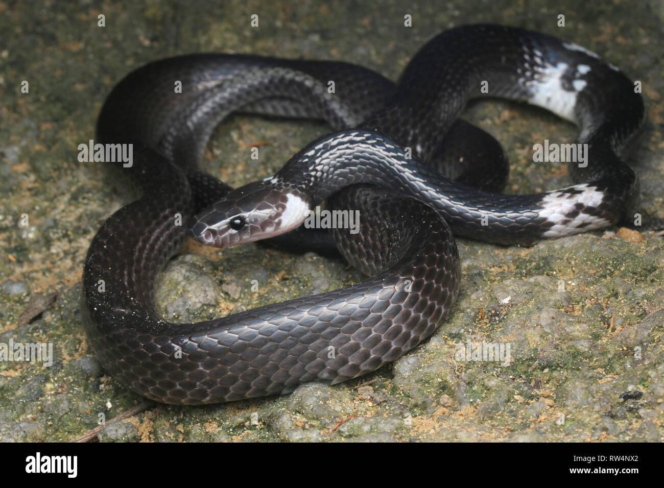 Bandas blancas wolf snake , Lycodon subcinctus Imagen De Stock