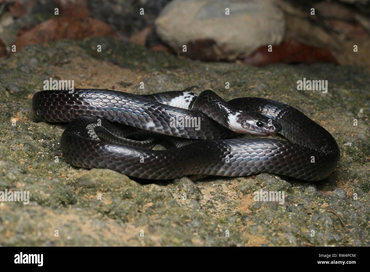 La serpiente, Lobo anillados Lycodon subcinctus Imagen De Stock