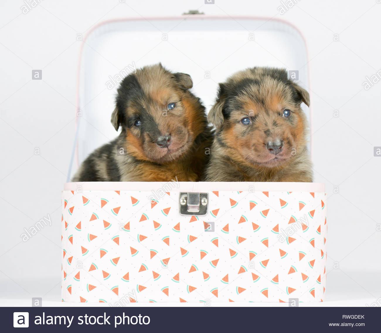 Viejo Perro Pastor Alemán. Dos cachorros (4 semanas) en una maleta pequeña. Studio picture contra un fondo blanco. Alemania Foto de stock