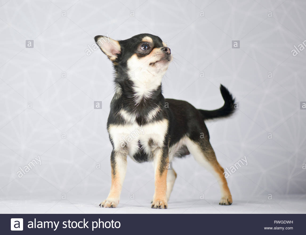 Chihuahua. Macho adulto (de pelo corto, tricolor) en pie. Studio picture contra un fondo gris, Alemania Imagen De Stock