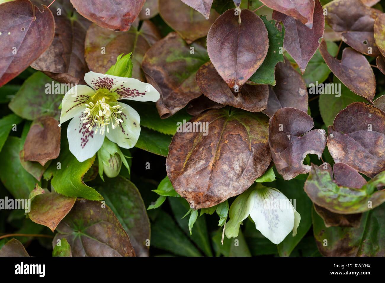 Cierre de un moteado blanco Helleborus peeping mediante hojas marrones en un jardín inglés Foto de stock