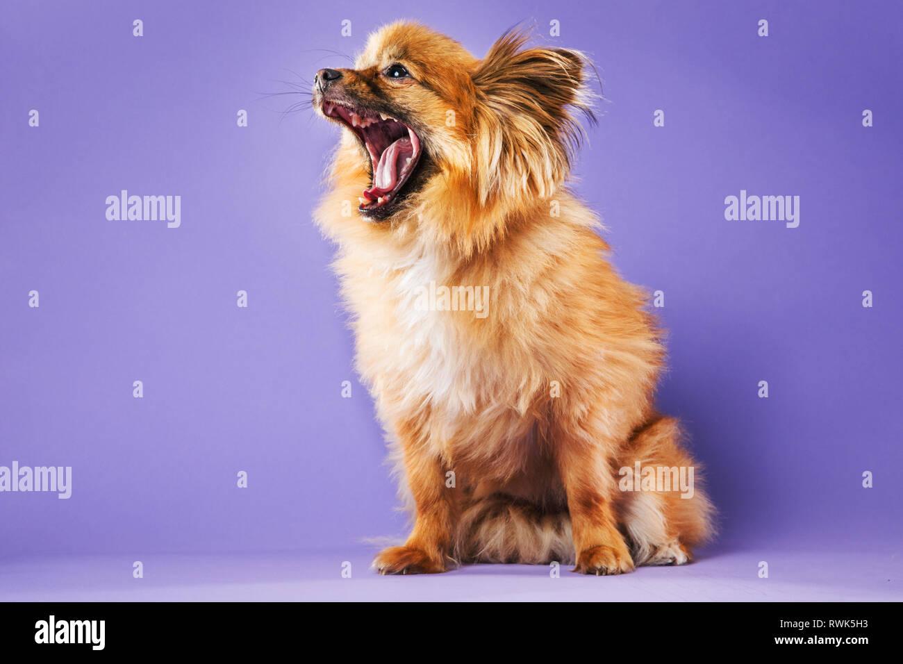 Retrato de cuerpo entero de una mezcla de Pomerania perro con la boca totalmente abierta sobre un fondo violeta. Imagen De Stock