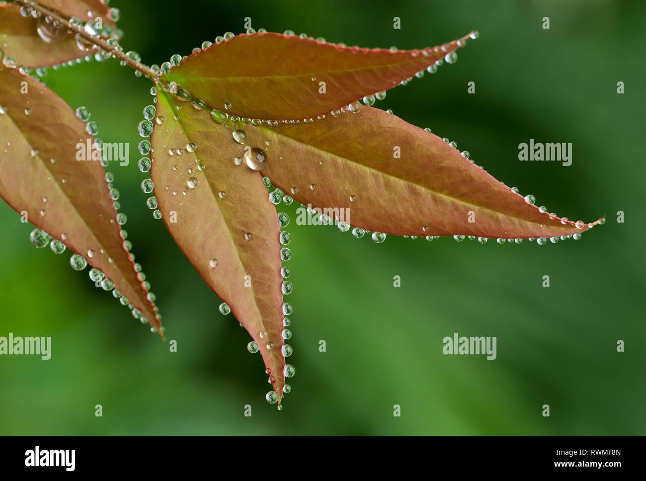 En hojas de Guttation Nandina Guttation ocurre durante condiciones climáticas frías y húmedas cuando las hojas no puede transpirar adecuadamente y la humedad se acumula dentro Imagen De Stock