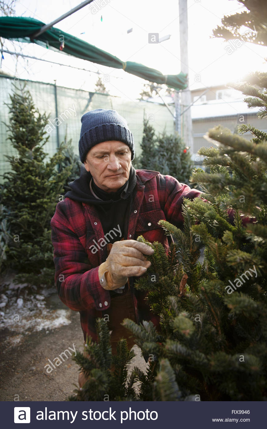 Comprobación de los trabajadores en las ramas del árbol de Navidad en el mercadillo de navidad Imagen De Stock