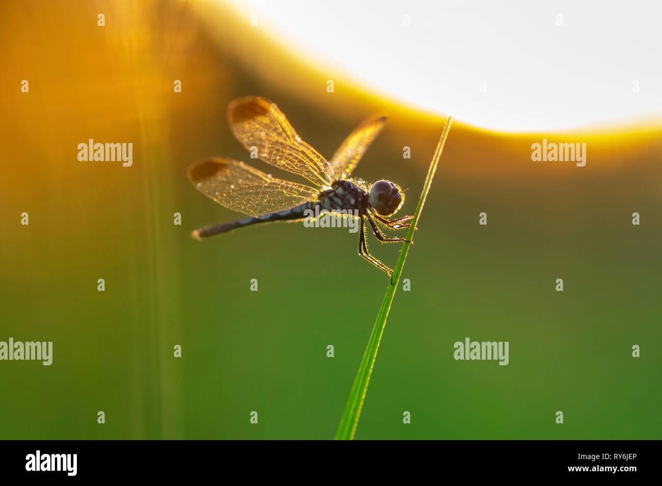 Close-up de dragonfly donde se posan sobre el tallo durante la puesta de sol Foto de stock