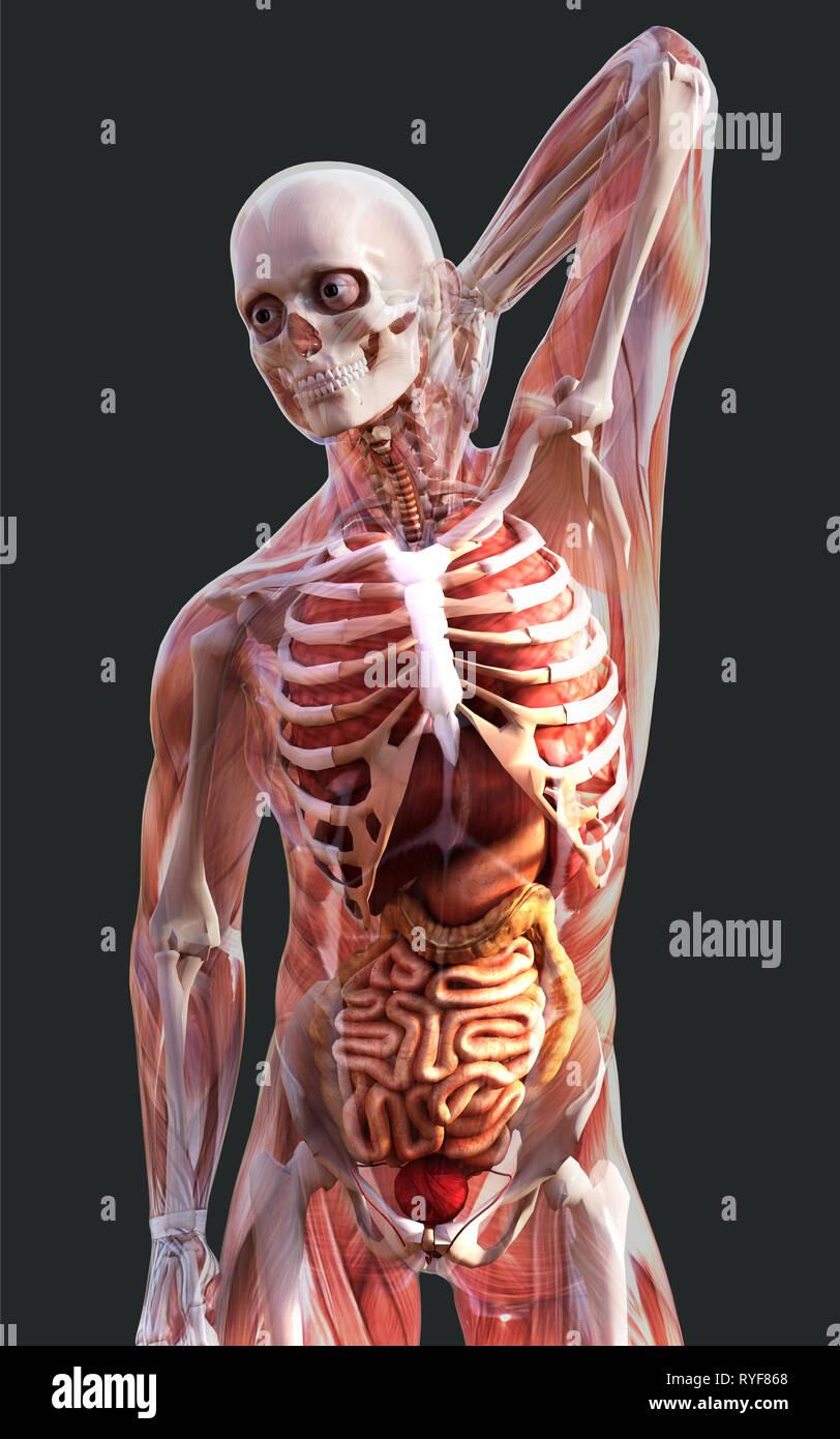 Ilustración 3d de un esqueleto humano Sistema de músculos, huesos y sistema digestivo con trazado de recorte Imagen De Stock