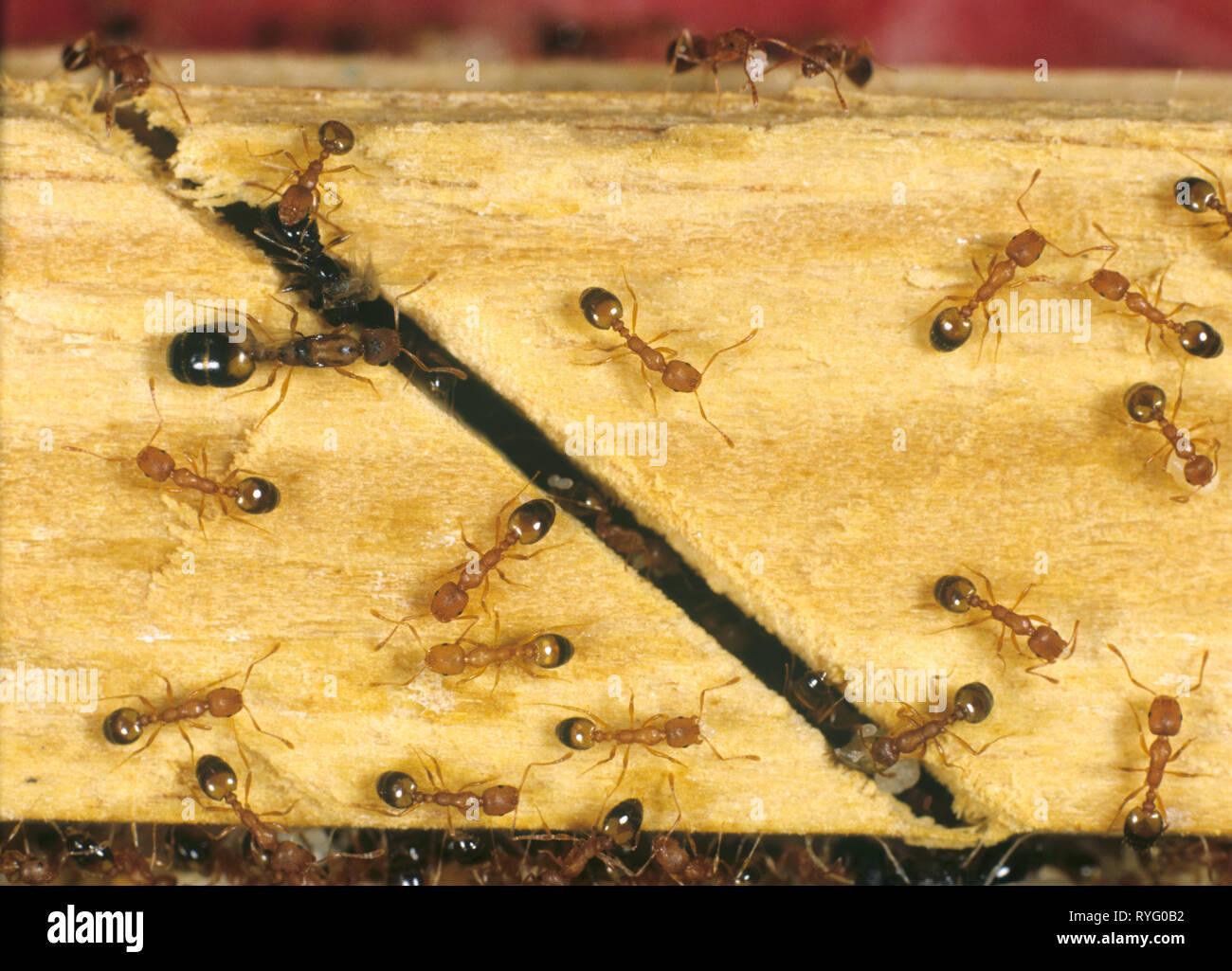 Las hormigas faraón (Monomorium pharaonis) con los trabajadores, reina y larvas. Imagen De Stock