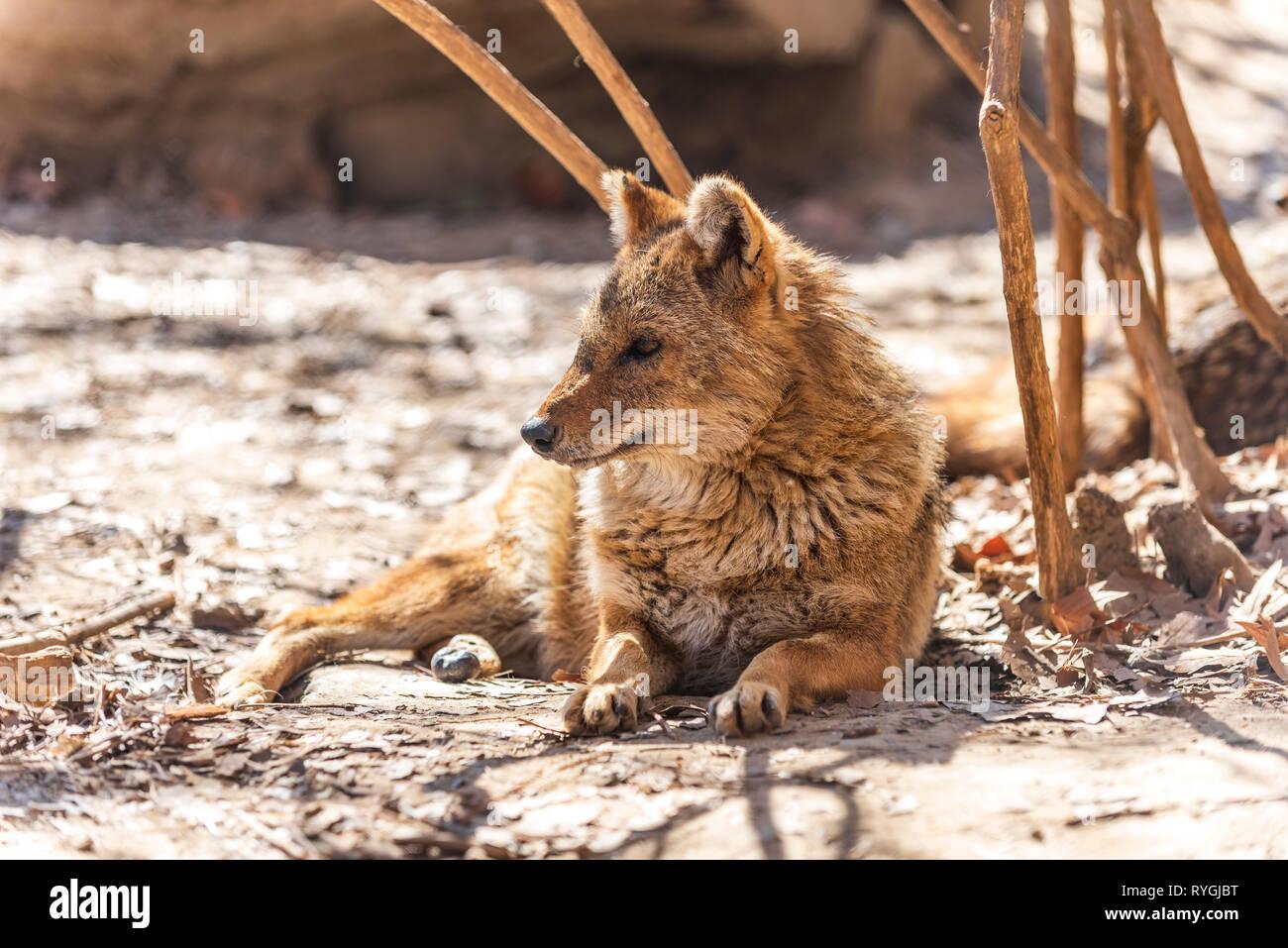 Canis aureus chacal Foto de stock