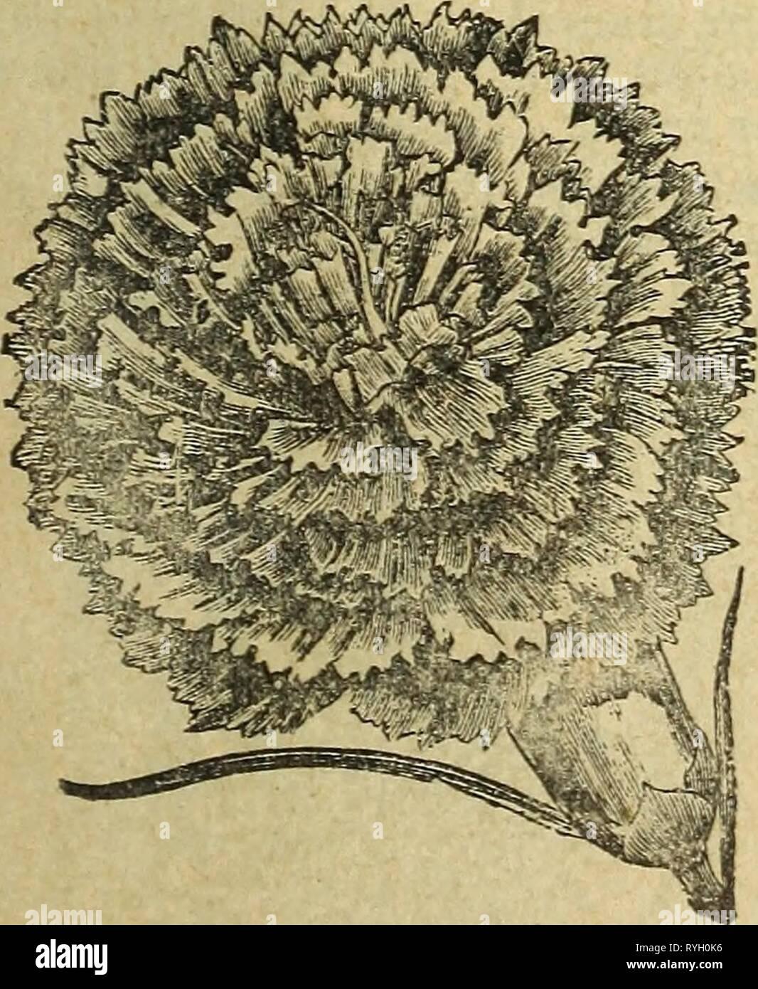 """E. Annabil & Co. de semillas eannabilcosseeda eann1893ANUAL Año: 1893 ft- #F CAI^E]B>UIL una caléndula. La caléndula ha sido un habitante de jardines floridos, desde tiempo inmemorial, y donde una rica muestra de bloi m es esperado, es casi indispensable. I él Af- rican variedades son altas, creciendo normalmente dos pies o más, mientras que los franceses son más enano, de forma más perfecta y hermosa belleza; todos son deseables. Hardy anuarios en flor hasta frost viene. El Meteor handsomest del calen- """"dulas, perfectamente doble y bellamente rayados, los pétalos con una cremosa cen- ter con bordes amarillo naranja Foto de stock"""
