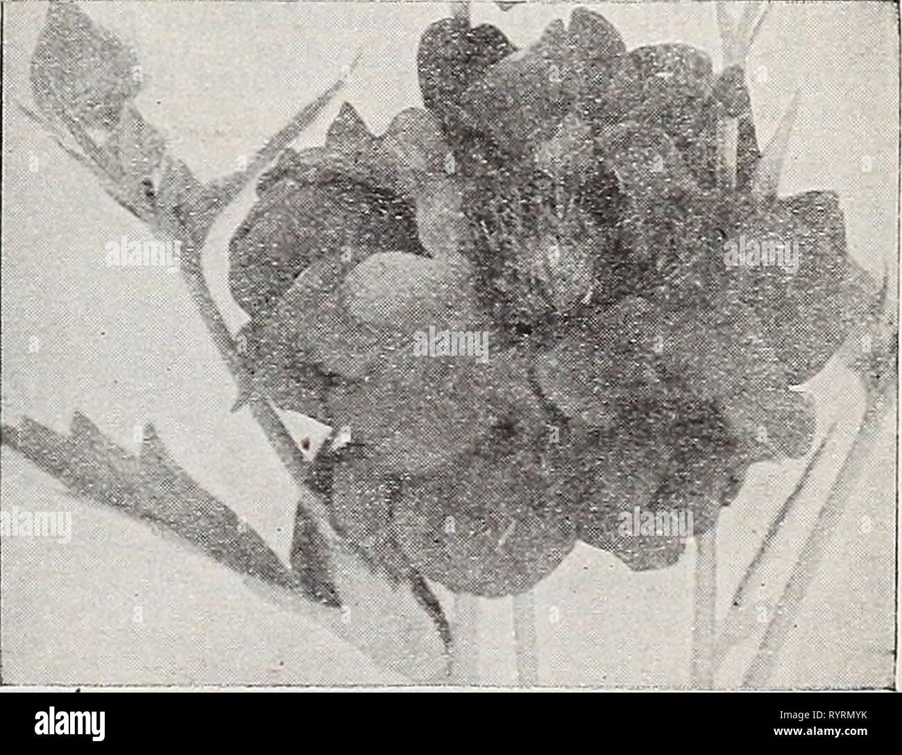 Dreer's Wholesale catálogo para floristerías Dreer's Wholesale catálogo para los floristas y hortelanos : otoño 1941 edition . dreerswholesalec1941henr Año: 1941 Digitalis gloxiniaeflora Gaillardia, Portola Hybrid Gypsophila paniculata fl. Delphinium continuó Tr. pit. Medalla Oold híbridos. Una espléndida variedad de iiybrids mixtos. %%%%%%%% Lb. $4.00 $0 25 Belladona mejorado (Cliveden belleza). Una cepa muy selecto de Strong, vigor- ou hábito. Flores grandes de brillante color azul turquesa iridiscente. %%%%%%%% Lb. $9.00 50 Bellamoeum. Un azul profundo ricli forma de belladona. Vt lb. $7.00 40 Cbinense, Azul. Int Imagen De Stock