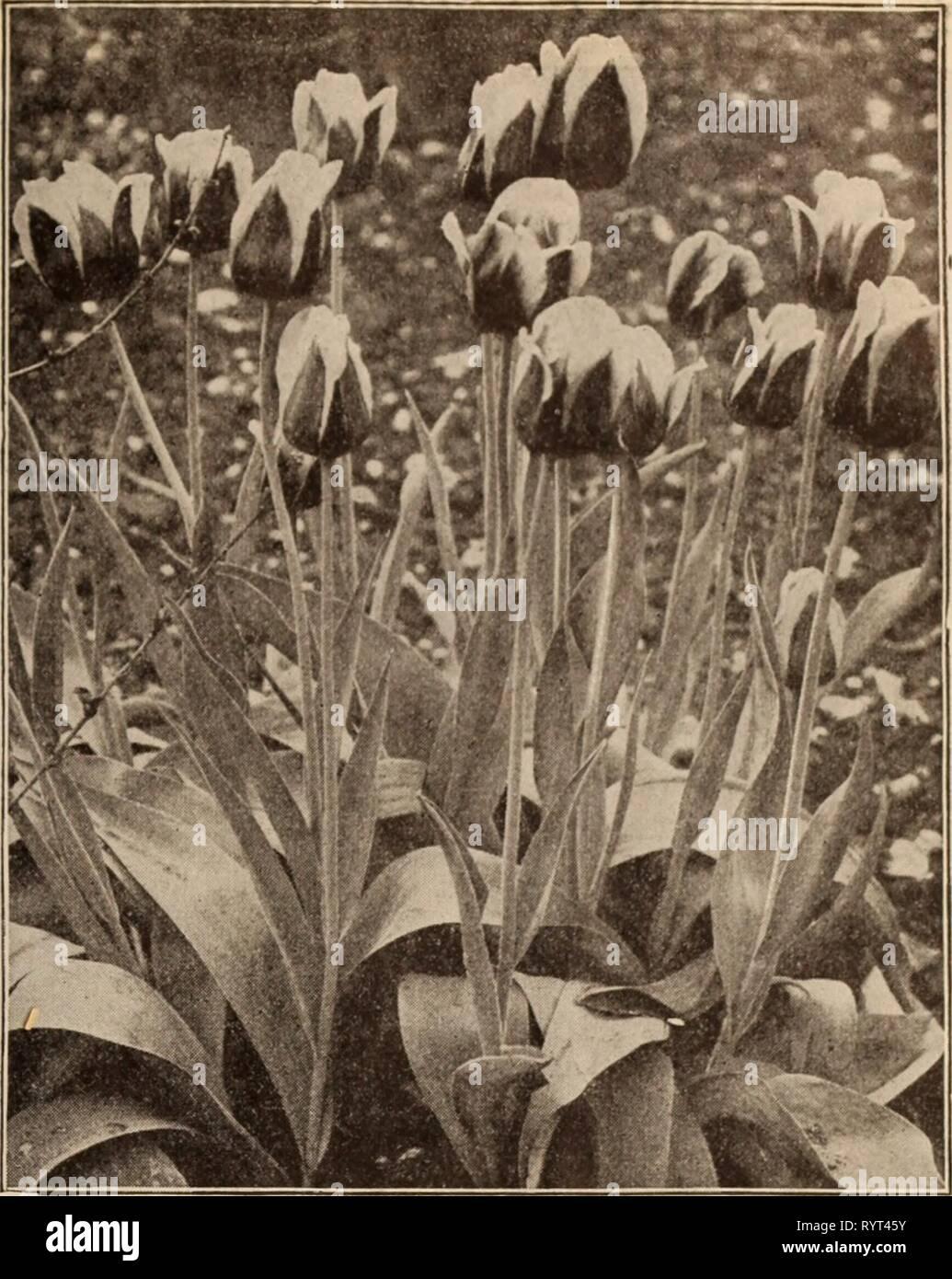 Dreer's Wholesale lista de precios Lista de precios al por mayor del Dreer / Henry A. Dreer. . Dreerswholesalep1912dree Año: Doble TULIPANES MURILLO SOLO PRIMEROS TULIPANES KAISER KROON por cada 100 1000 j Silver Standard. Blanco, rayas carmesí .... $150 $1400 I Sir Thos. Lipton. El más rico de todos los tulipanes escarlata, me extrafina 2 35 22 00 I Thomas Moore. Naranja brillante, multa de 85 7 00 bermellón brillante. Vermilion escarlata, bien . . . 1 90 17 50 White Hawk (Albion). Un fino blanco puro bedder o forcer Wouverman 1 50 13 00. Morado, bellas bedder 2 50 24 00 Amarillo Prince. De color amarillo dorado, uno de los mejores amarillos fo Foto de stock