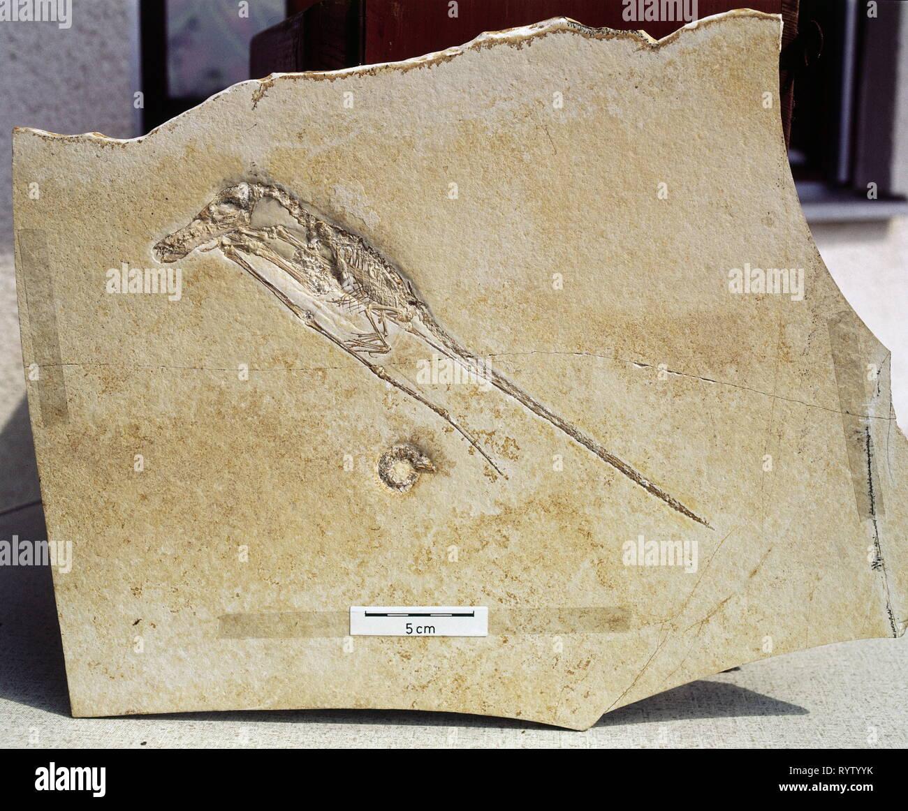 La prehistoria, la fosilización, fósil, zoología, Rhamphorhynchus (Pterosaur), Jurásico Superior, Eichstaedt, Additional-Rights-Clearance-Info-Not-Available Imagen De Stock