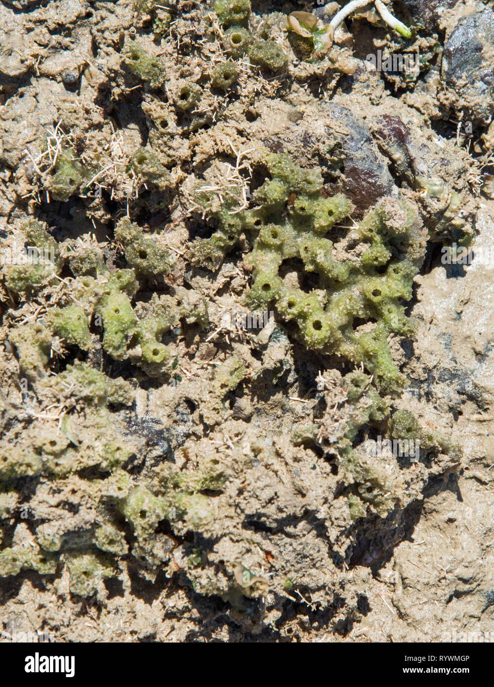 Los organismos vivos crecen en el arrecife natural en la marea baja en la Casuarina reserva costera en el Territorio del Norte de Australia Foto de stock
