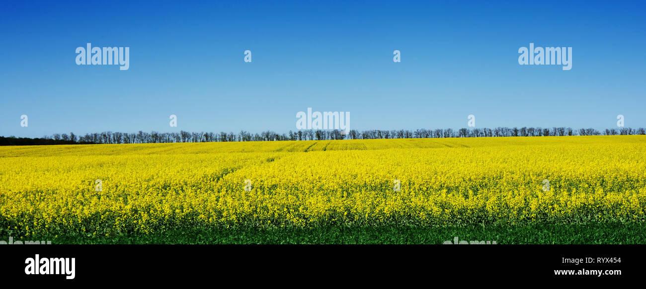 Hermoso campo amarillo de violación contra el cielo azul y los árboles Imagen De Stock