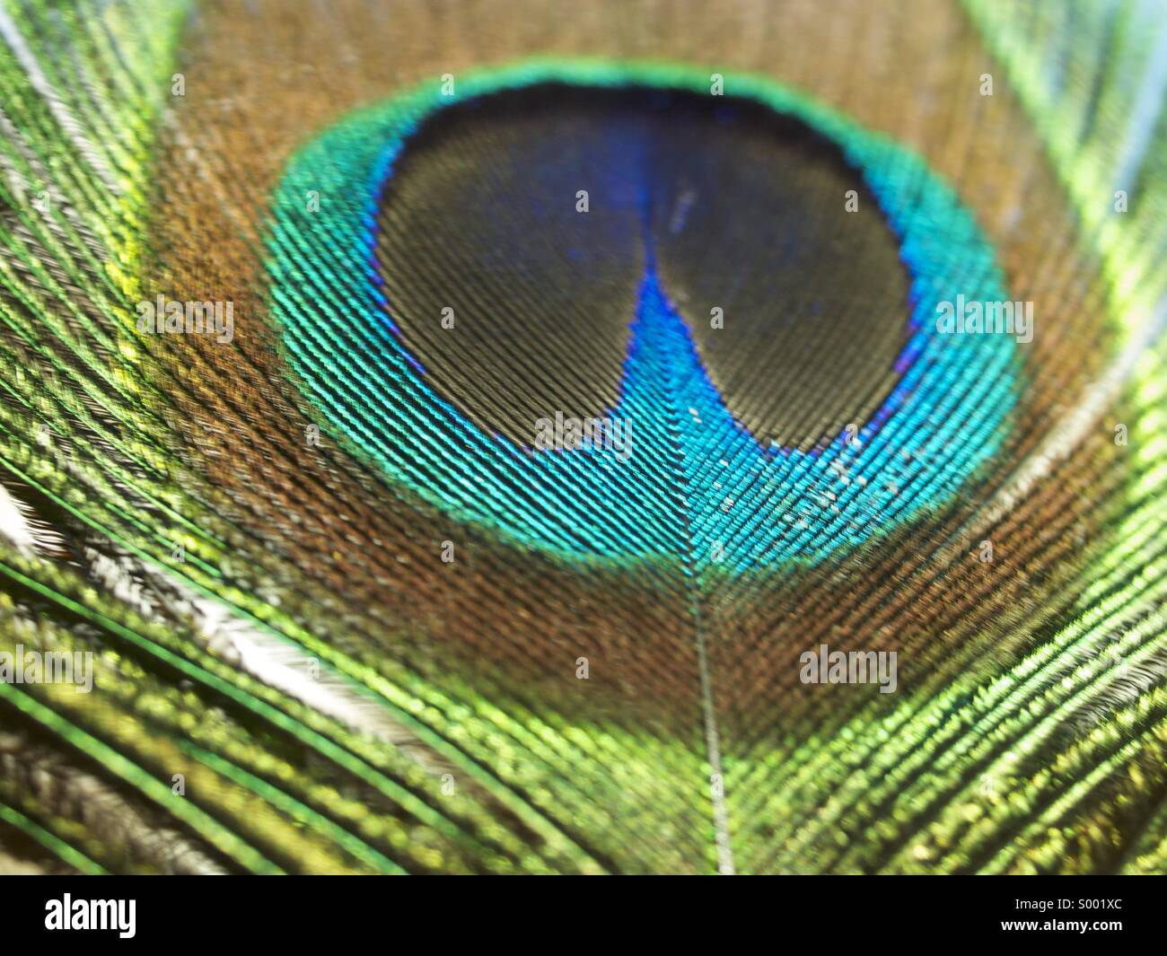 Pluma del pavo real Foto de stock