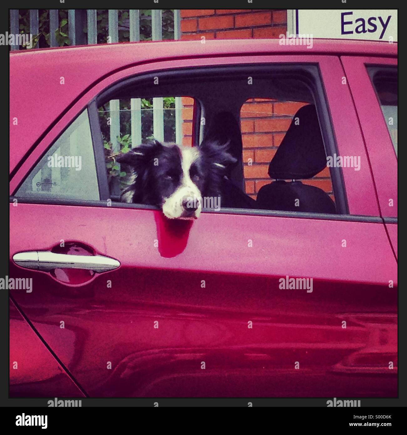 Perro con actitud cuelga fuera del coche Imagen De Stock