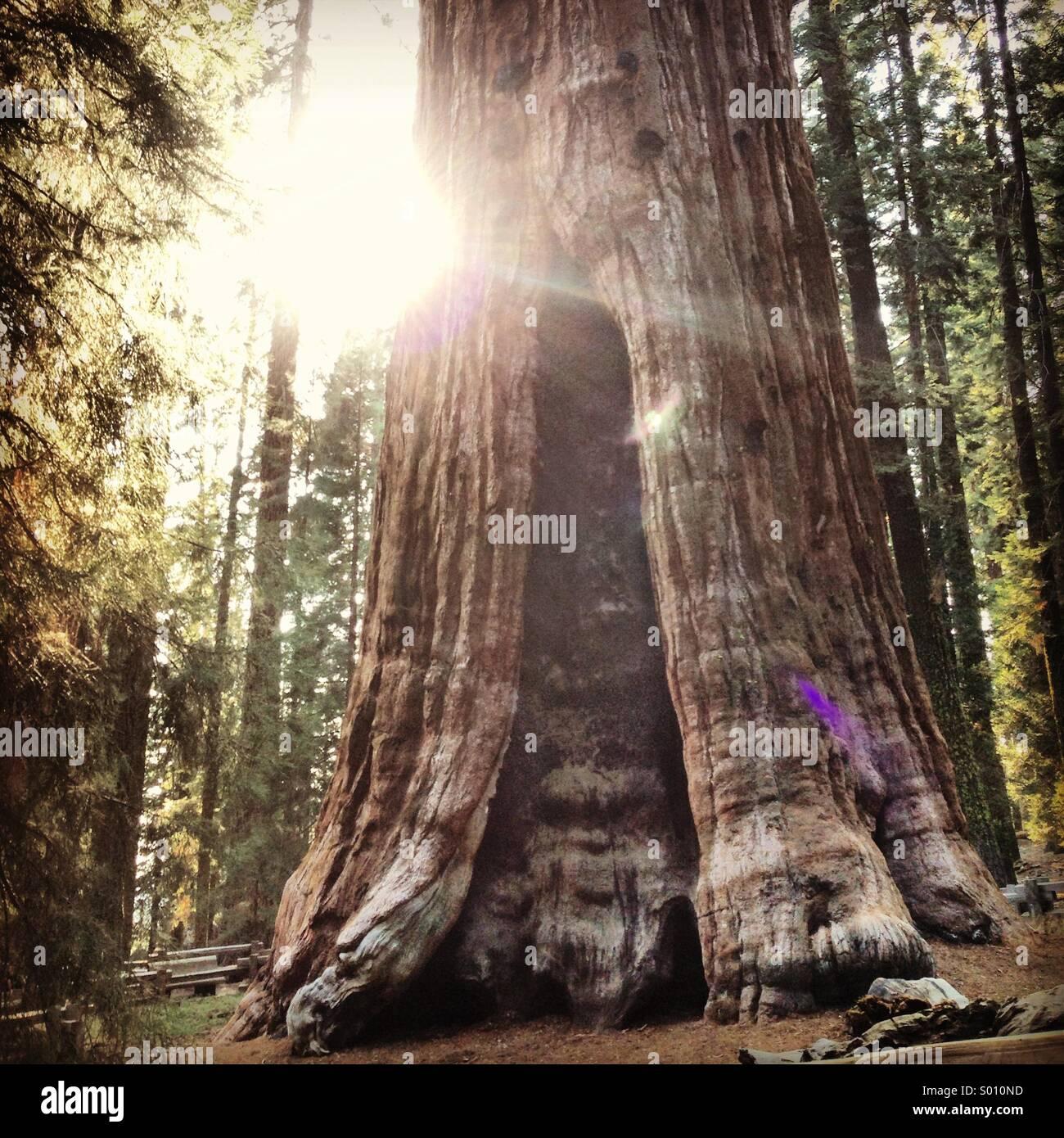 General Sherman Tree Foto de stock