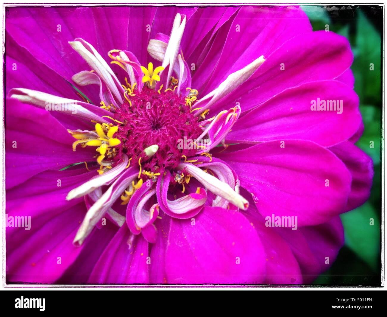 De la rosa Imagen De Stock