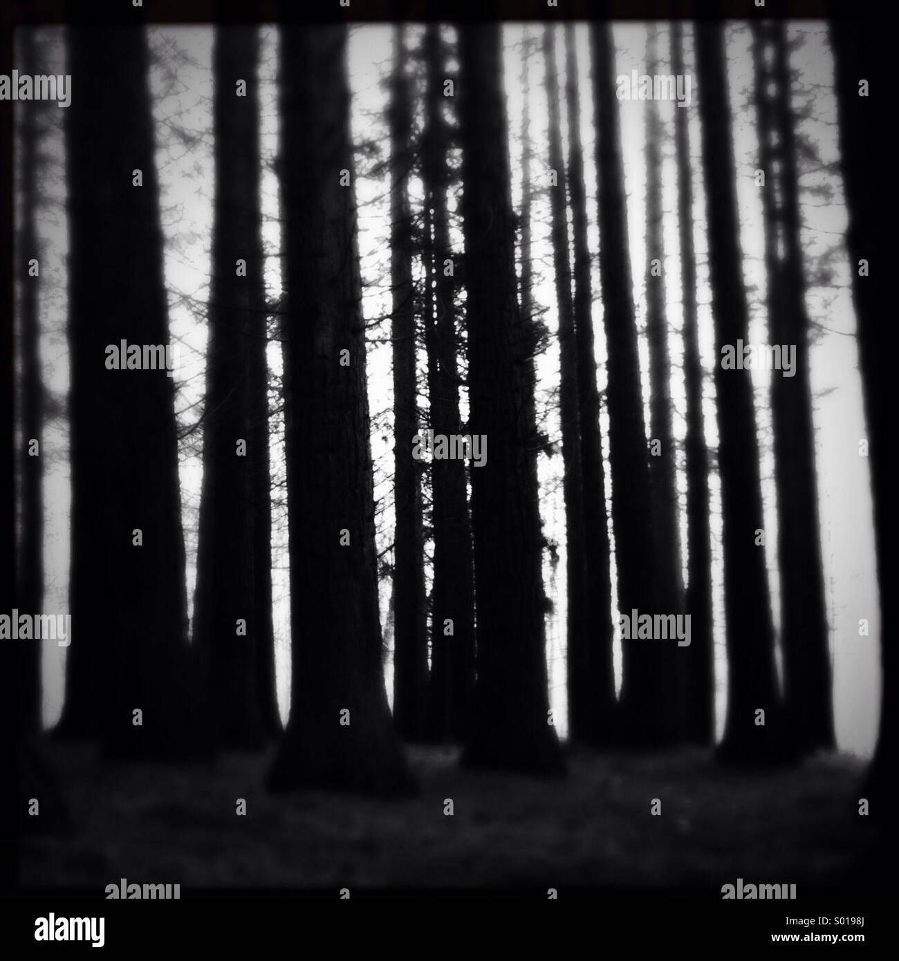 Muy oscuras, troncos de árboles en un bosque de coníferas. Foto de stock