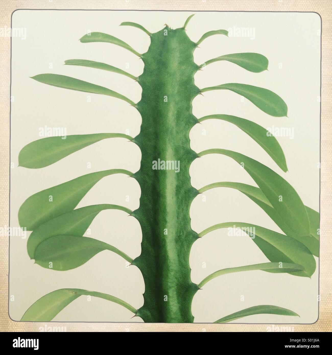 hojas de cactus Imagen De Stock