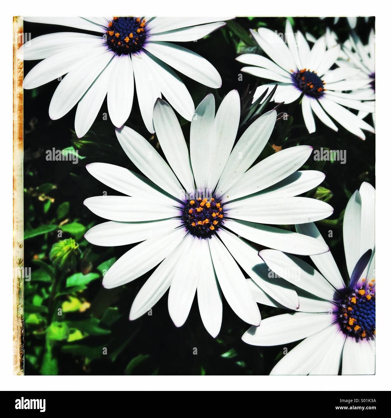 Planta de flores, pétalos de Margarita de cerca Foto de stock