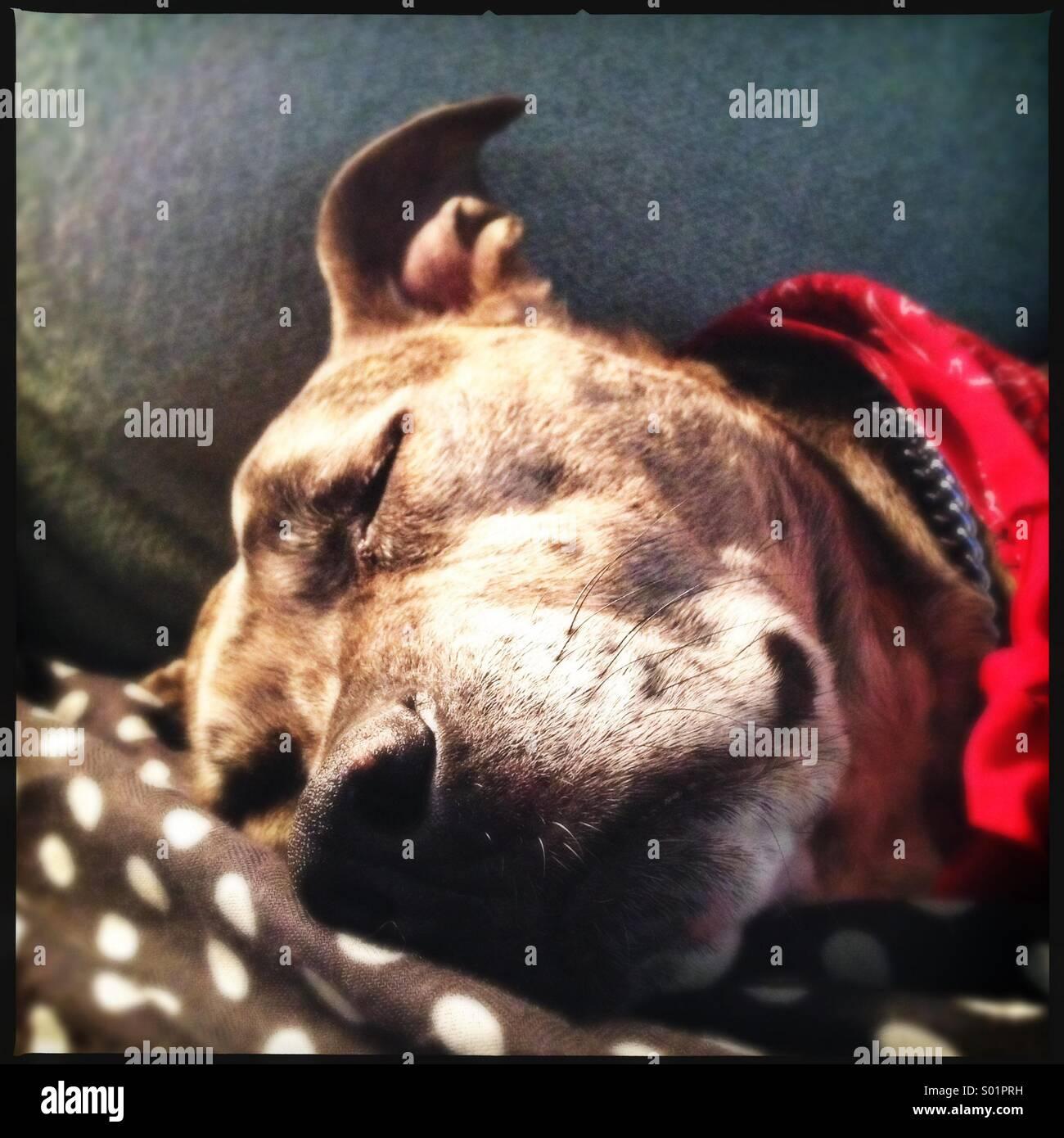 Perro durmiendo en polka dots Imagen De Stock