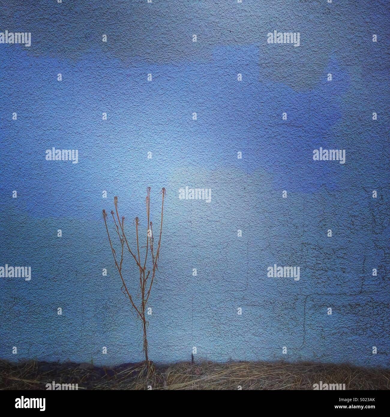 Plantas muertas contra la pared azul Imagen De Stock
