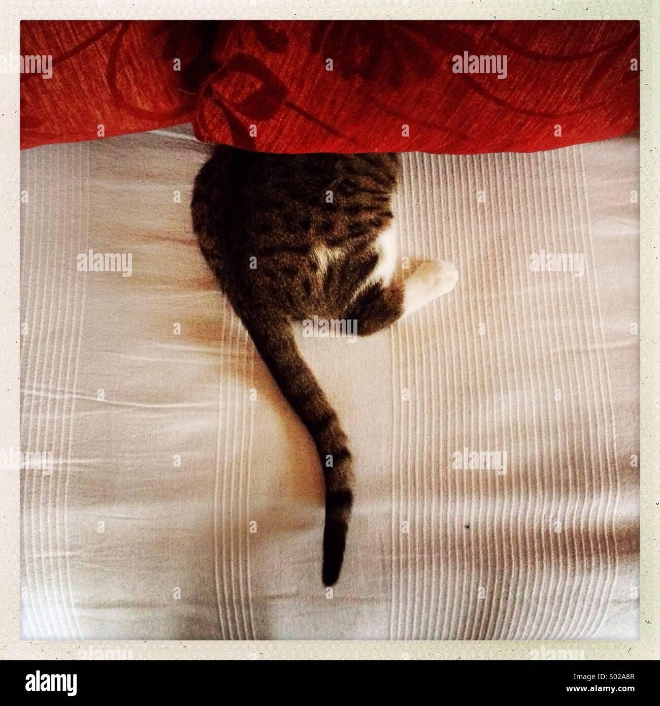 Es un gato visto intentando ocultar bajo cama almohadas. Imagen De Stock