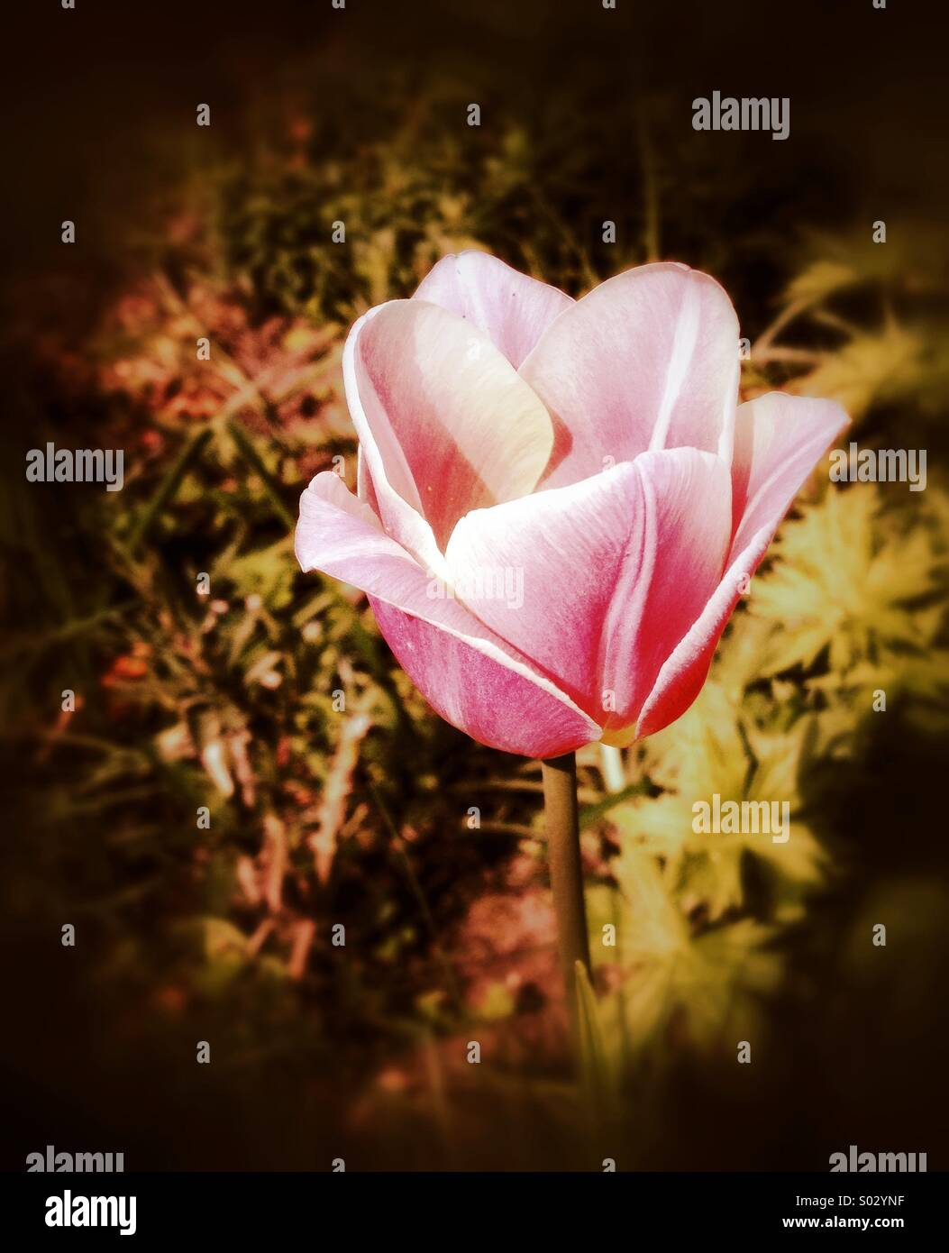 Tulip Imagen De Stock