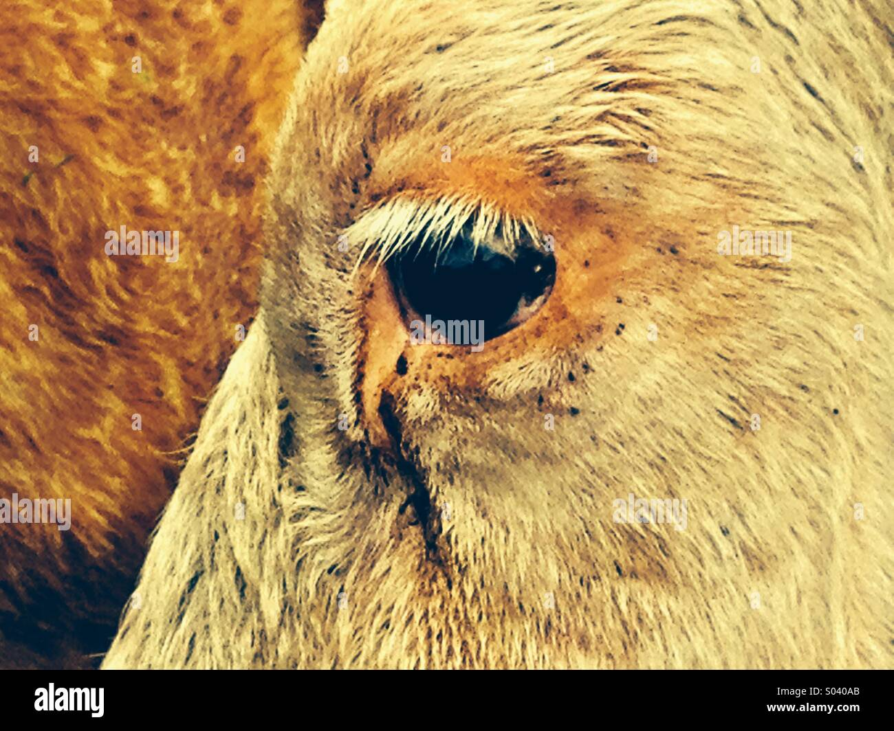 Pestaña de vaca Foto de stock