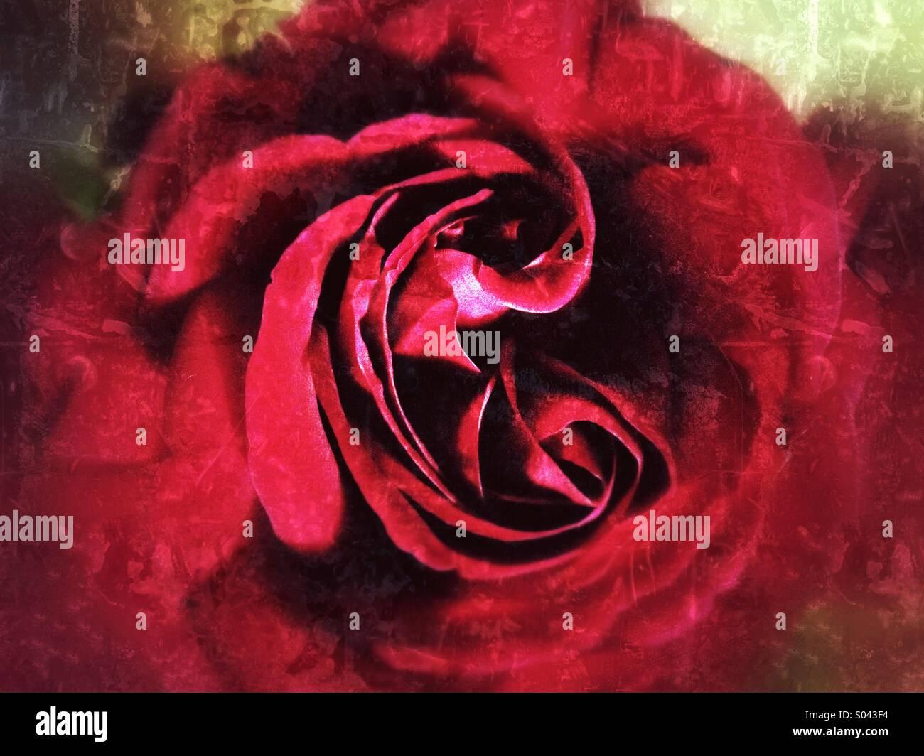 Red Rose Bloom resumen Imagen De Stock