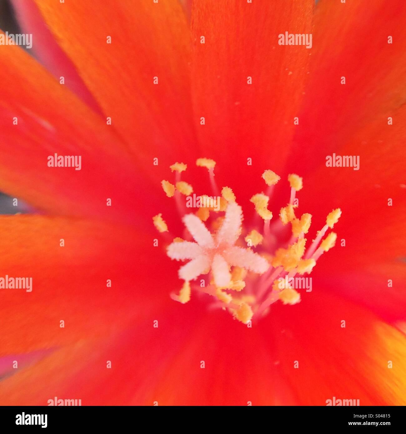 Macro de una naranja cactus flower Imagen De Stock