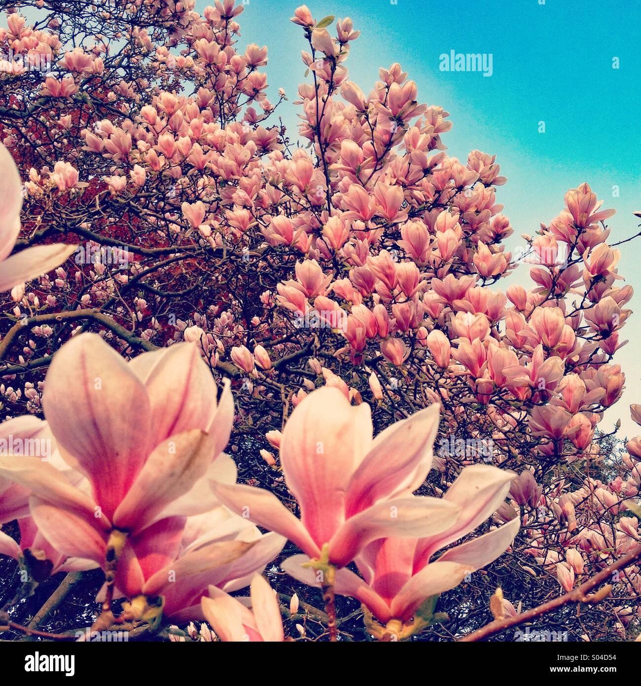 Un gran árbol de magnolia está cubierto con flores de color rosa y las  flores se a9f56d2645b