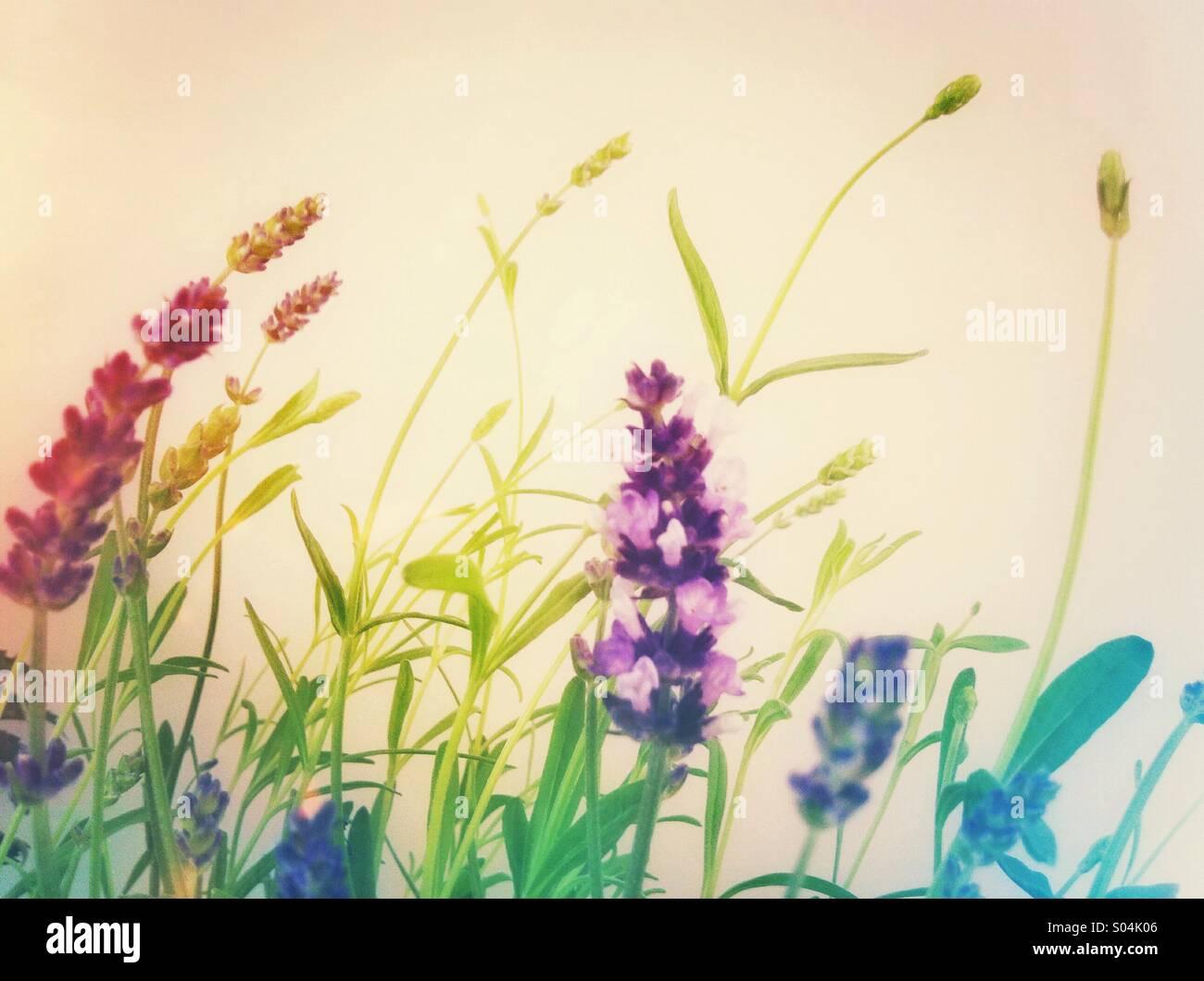 Planta con flores de lavanda Imagen De Stock