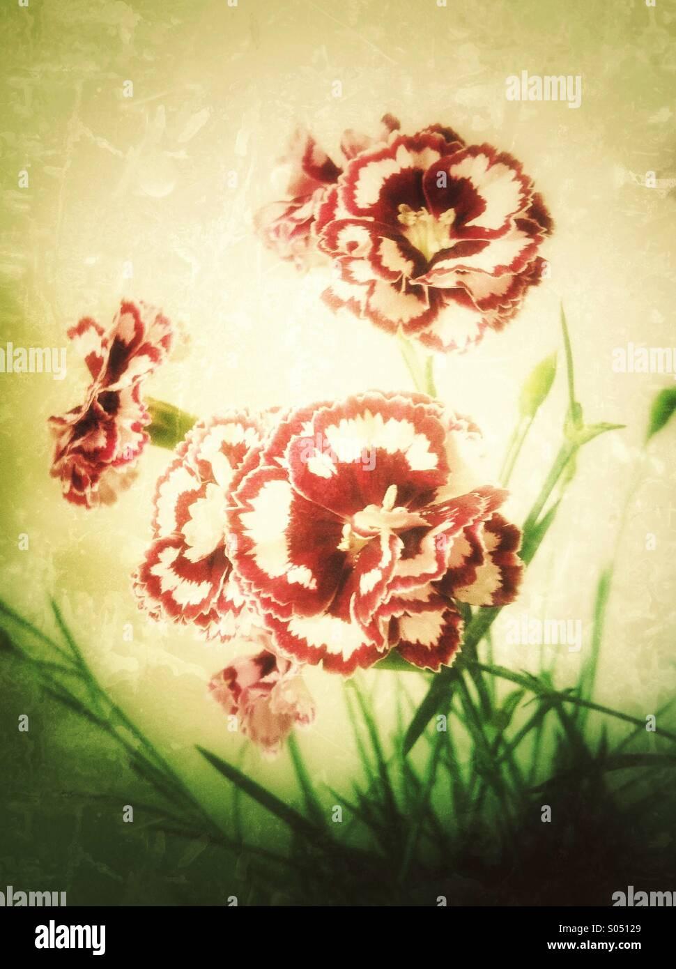 Rojo blanco dianthus flores Imagen De Stock