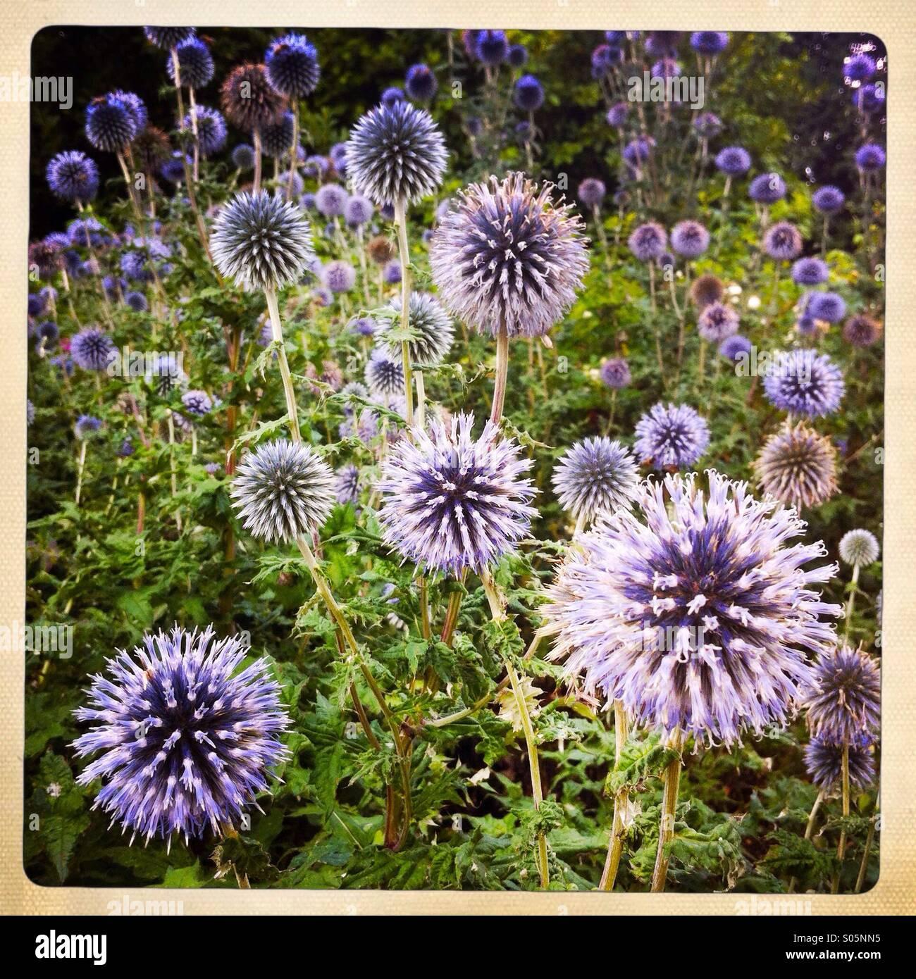 Flores de color púrpura Imagen De Stock