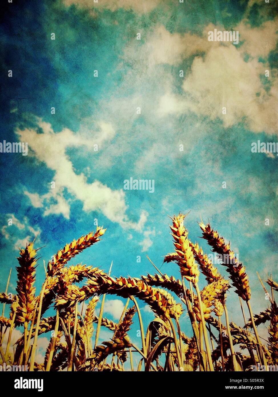 El trigo madura contra el cielo azul Imagen De Stock